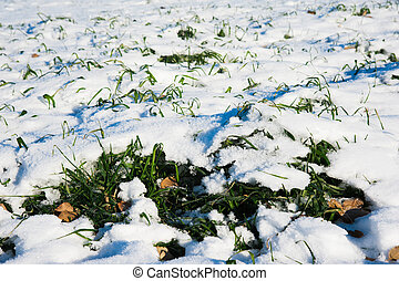 Winter wheat seedlings under the snow