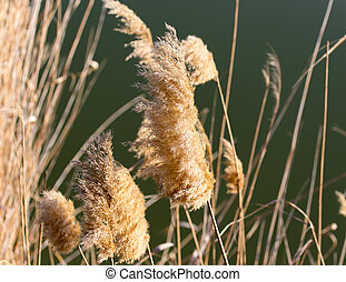 Dry reeds on the nature