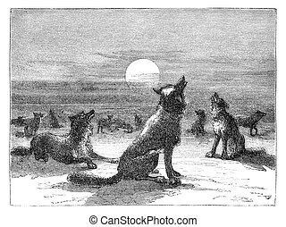 Coyotes on prairie. Illustration originally published in...