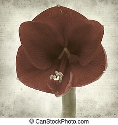 textured old paper background with flowering red Amaryllis
