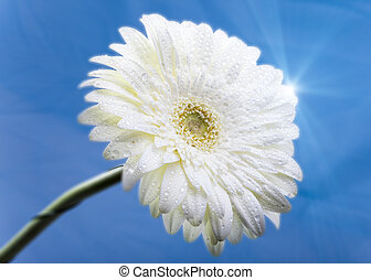 Transvaal daisy flower in rain drops