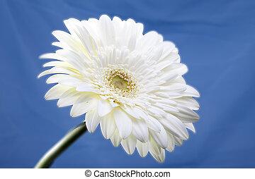 Transvaal daisy flower