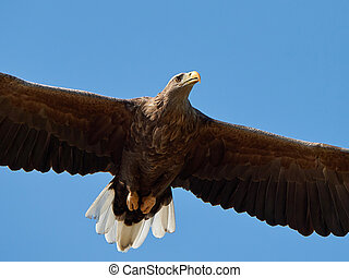 White-tailed eagle (Haliaeetus albicilla) - Closeup of the...