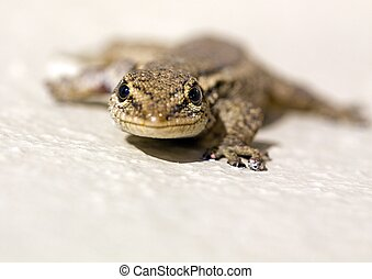 Common Lizard Juvenile