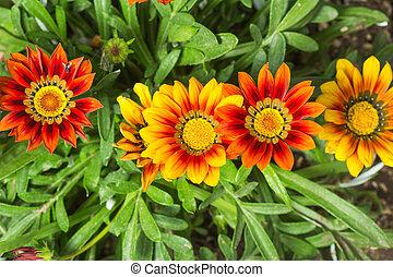 Gazania, flores, colorido, amarela, vermelho