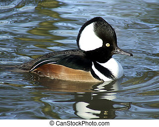 Hooded Merganser - Male Hooded Merganser showing crest...