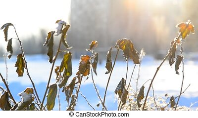 Leaves covered with frost in light of sunset in city -...