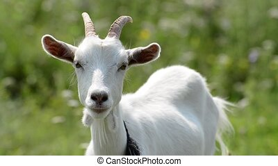 Portrait of young white goat - Portrait of a young white...