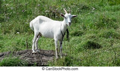 White goat is tethered by a rope on background of green...