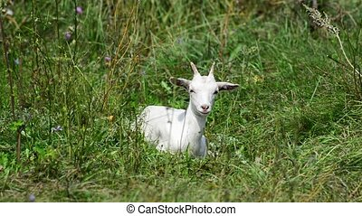The baby goat lies in grass in summer - The baby goat lies...