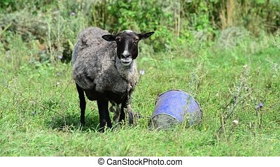 Black sheep often breathe from heat in summer - Black sheep...
