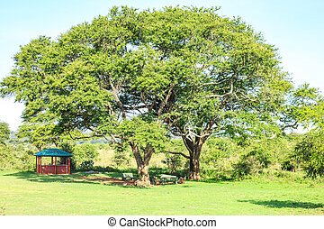 Eating and resting place under a huge african tree, Nairobi...