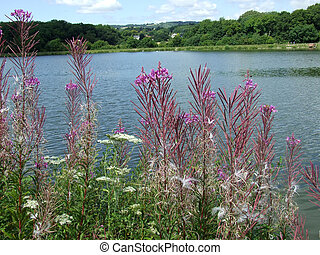 Rosebay Willowherb at Llanishen Reservoir