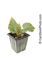 Begonia seedling - Young begonia plant in a pot