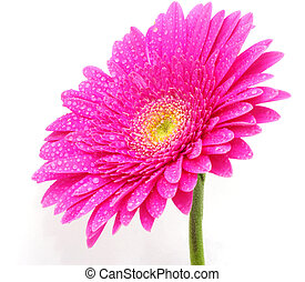gerbera flower - close up of a beautiful gerbera flower