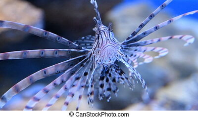Red lionfish in aquarium - Close-up shot of red lionfish...