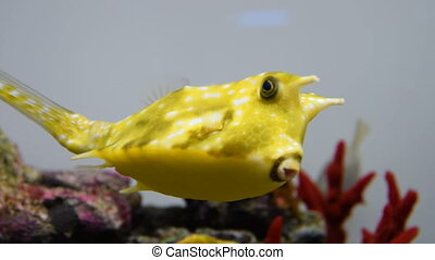 Longhorn cowfish swimming in aquarium - Close-up shot of...