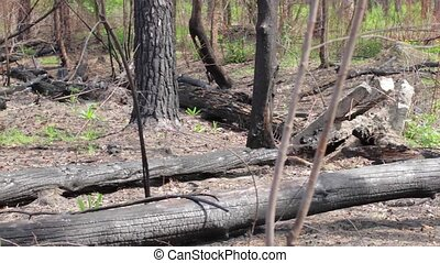 Burnt tree trunks on ground. Charred wood in the forest....