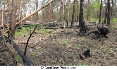 Burnt trees in the forest. Broken trunks and branches....