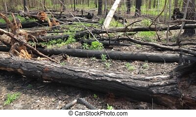 Bunch of burnt tree trunks. Damaged forest at daytime....