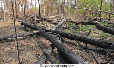 Charred tree trunks. Black burnt wood. From forests to...