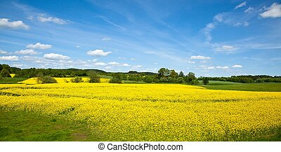 Canola Field - Yellow field of blooming canola in Greater...