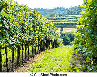 weingarten a winemaker - the vineyard of a winemaker in...