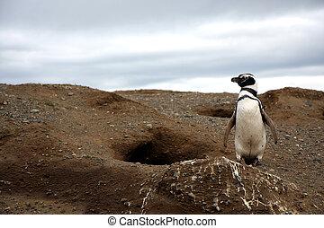 Magellan penguins on an island - Magellan penguins pair on...