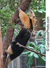 collared,  tetradactyla,  anteater-,  tamandua