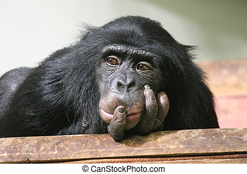 Chimp Common chimpanzee (Pan troglodytes) ape