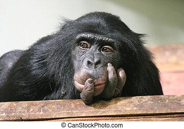 Chimp Common chimpanzee (Pan troglodytes) ape