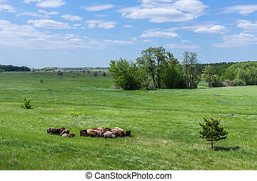 Herd of sheep on the field - Herd of sheep on a green...