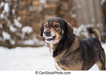 Aggressive, angry dog - Angry dog shows teeth. Pets. Wicked...