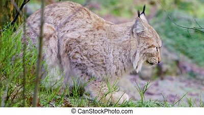 European lynx cat lies in the forest at late fall - Portrait...