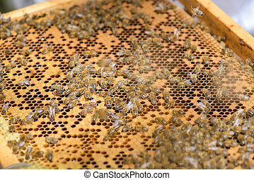 Closeup of bees on frame of beehive