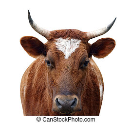 Ayrshire, vaca, cuernos