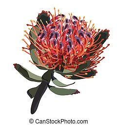 Red Protea Vector illustration on White Background -...