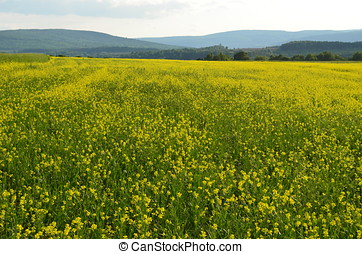a sea of yellow flowers in alfalfa field on the hills of upstate New York