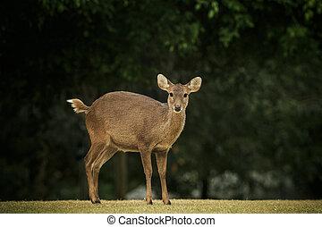 wild male eld's deer, thamin, brow-antlered deer in field