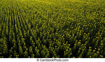 aerial view of sun flowers field