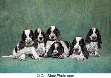 English Cocker Spaniel puppy family - cute small blue...