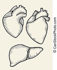 A set of human hearts and liver. Vector illustration