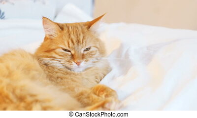 Cute ginger cat lying in bed. Fluffy pet looks curiously....