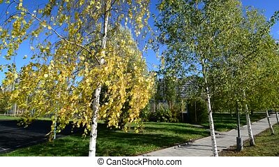 Birch trees in city park in district Zelenograd, Russia -...