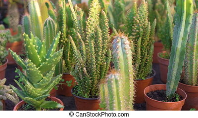 Many kinds of cactuses in garden house 4K.