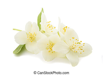 Orange blossom (zagara) isolated on white background