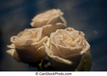 winter rose - rose with ice crystals of water. Spring flower...