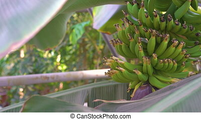 Look of banana trees in gardenhouse