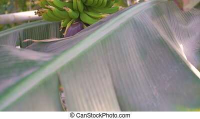 Look of banana trees in gardenhouse