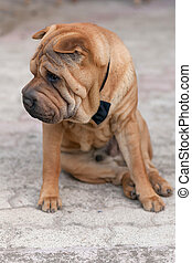 adult shar pei - adult purebred chinese shar pei wearing a...